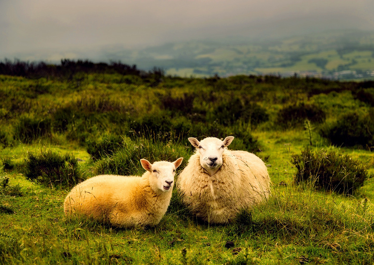cormac-sheep-aboutpage-3