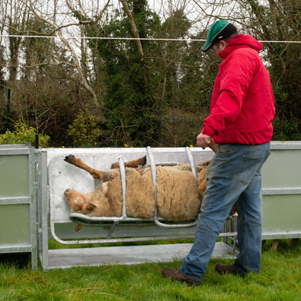 sheep-handling-equipment-home-thumb