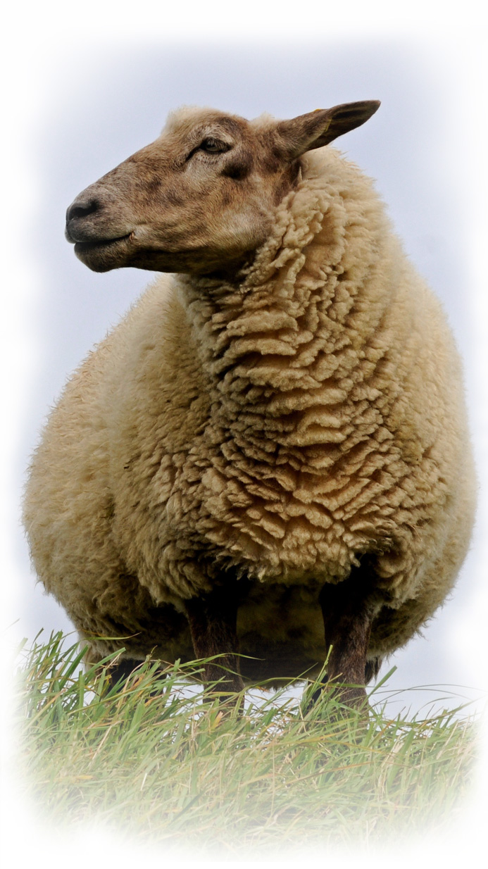about-page-sheep-colour