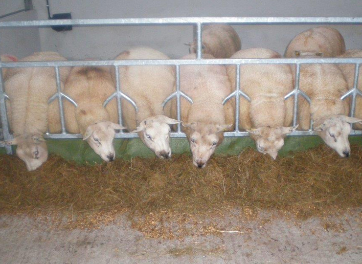 products-Individual-Sheep-Head-Barrier